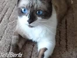 SNOWSHOE - modrooký Brunko so snehovými labkami , Zvieratá, Mačky  | Tetaberta.sk - bazár, inzercia zadarmo
