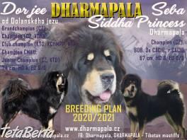 Tibetská doga šteniatka s PP 2020/21 okr. Břeclav , Zvieratá, Psy  | Tetaberta.sk - bazár, inzercia zadarmo