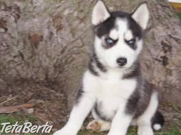 Nádherná štěňata sibiřského husky , Zvieratá, Psy  | Tetaberta.sk - bazár, inzercia zadarmo