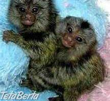 2 opice Marmoset pre novú rodinu , Zvieratá, Ostatné  | Tetaberta.sk - bazár, inzercia zadarmo