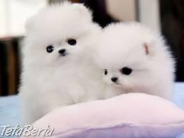 Pomeranian 1 , Zvieratá, Psy  | Tetaberta.sk - bazár, inzercia zadarmo