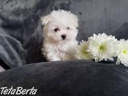 Tri maltézske šteniatka na predaj , Zvieratá, Psy  | Tetaberta.sk - bazár, inzercia zadarmo
