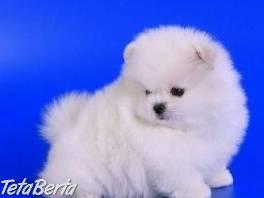 Pomeranian nemecký trpaslíčí špic , Zvieratá, Psy  | Tetaberta.sk - bazár, inzercia zadarmo