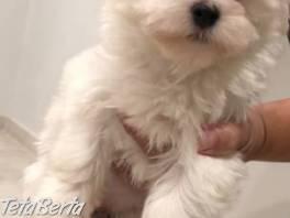 dve krásne bichonové maltézske šteniatka na prijatie , Zvieratá, Psy  | Tetaberta.sk - bazár, inzercia zadarmo
