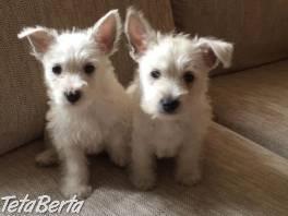 Na predaj veľmi hravé šteniatka West Highland White Terrier , Zvieratá, Psy  | Tetaberta.sk - bazár, inzercia zadarmo