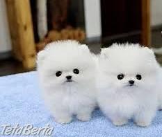 Pomeranian šteňatá , Zvieratá, Psy  | Tetaberta.sk - bazár, inzercia zadarmo