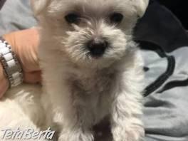 krásne maltské šteniatka na adopciu ... , Zvieratá, Psy  | Tetaberta.sk - bazár, inzercia zadarmo
