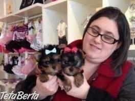 yorkšírský terier , Zvieratá, Psy  | Tetaberta.sk - bazár, inzercia zadarmo