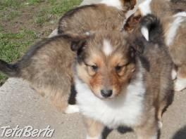 Predám krásné šteniatka Kolie dlhosrstej  , Zvieratá, Psy  | Tetaberta.sk - bazár, inzercia zadarmo