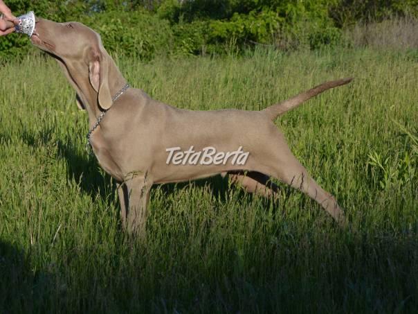Predám šteniatka weimarského stavača., foto 1 Zvieratá, Psy   Tetaberta.sk - bazár, inzercia zadarmo