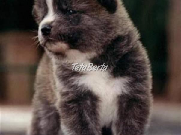 vynikajúce Akita Inu šteňatá na predaj 76fd2ca0a27