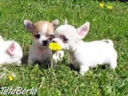 Civava mini , Zvieratá, Psy  | Tetaberta.sk - bazár, inzercia zadarmo