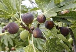 Predaj figovníkov , Dom a záhrada, Zo záhradky  | Tetaberta.sk - bazár, inzercia zadarmo