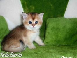 Krásne a prítulné britské mačiatka s PP , Zvieratá, Mačky  | Tetaberta.sk - bazár, inzercia zadarmo