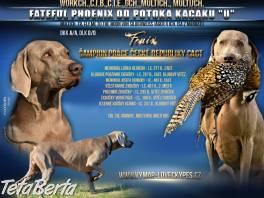 Ponúkam rezerváciu šteniatka weimarského stavača. , Zvieratá, Psy  | Tetaberta.sk - bazár, inzercia zadarmo