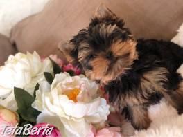 Krásne šteniatka Yorkie pre dobrý domov , Zvieratá, Psy  | Tetaberta.sk - bazár, inzercia zadarmo