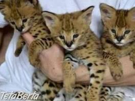 Savannah mačiatka na predaj == , Zvieratá, Mačky    Tetaberta.sk - bazár, inzercia zadarmo