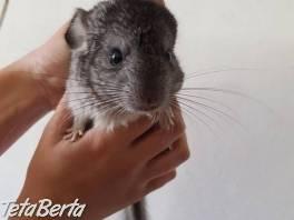 Činčila Juhoamerická , Zvieratá, Hlodavce  | Tetaberta.sk - bazár, inzercia zadarmo
