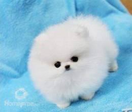 Pomeranian šteniatka zadarmo, foto 1 Zvieratá, Psy | Tetaberta.sk - bazár, inzercia zadarmo