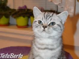 Britské mramorované mačiatko s PP hľadá nový domov
