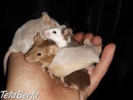 Farebné myšky  , Zvieratá, Hlodavce  | Tetaberta.sk - bazár, inzercia zadarmo