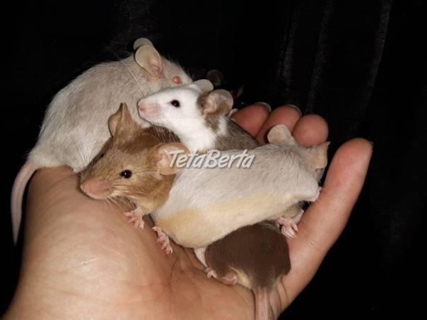 Farebné myšky , foto 1 Zvieratá, Hlodavce | Tetaberta.sk - bazár, inzercia zadarmo