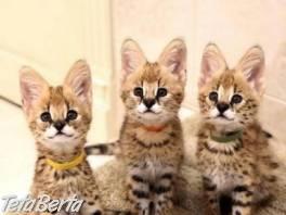 F1 mačiatka Savannah na adopciu. , Zvieratá, Mačky  | Tetaberta.sk - bazár, inzercia zadarmo