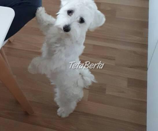 Darujem Maltezaka, foto 1 Zvieratá, Psy | Tetaberta.sk - bazár, inzercia zadarmo