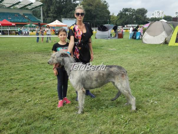 Šteniatka írskeho vlkodava na predaj, foto 1 Zvieratá, Psy | Tetaberta.sk - bazár, inzercia zadarmo