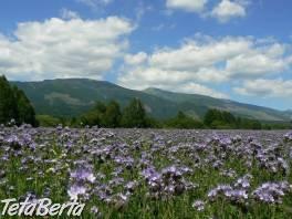 Medonosná rastlina Facélia vratičolistá , Dom a záhrada, Zo záhradky  | Tetaberta.sk - bazár, inzercia zadarmo