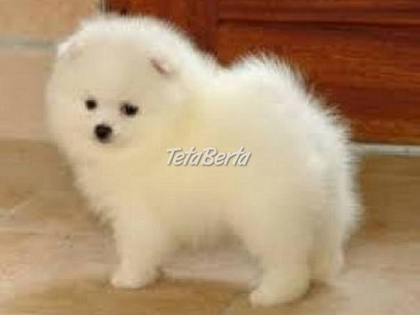 valentine deň Pomeranian šteniatka pre nový domov, foto 1 Zvieratá, Psy | Tetaberta.sk - bazár, inzercia zadarmo