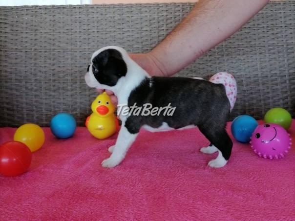 Bostonský teriér šteniatka, foto 1 Zvieratá, Psy | Tetaberta.sk - bazár, inzercia zadarmo