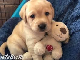 Na predaj pekné šteniatka labradorského retrievera , Zvieratá, Psy  | Tetaberta.sk - bazár, inzercia zadarmo