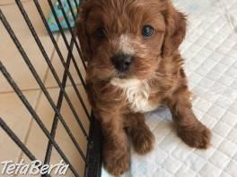 Ohromujúce šteňatá vyrastajúce z rodu Cavapoo , Zvieratá, Psy  | Tetaberta.sk - bazár, inzercia zadarmo