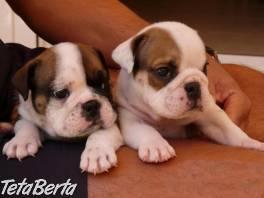 Registrované anglické buldog šteňatá pre prijatie , Zvieratá, Psy  | Tetaberta.sk - bazár, inzercia zadarmo