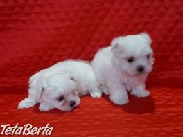 K dispozícii sú roztomilé maltézske šteniatka , Zvieratá, Psy    Tetaberta.sk - bazár, inzercia zadarmo