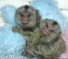 capuchin opice na Vianoce , Zvieratá, Ostatné  | Tetaberta.sk - bazár, inzercia zadarmo