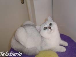 Posledné britské striebristé mačiatko s PP , Zvieratá, Mačky  | Tetaberta.sk - bazár, inzercia zadarmo