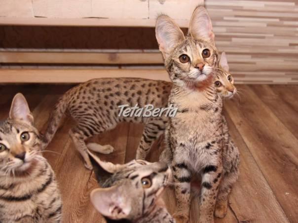 Koťata F1 Savannah na prodej, foto 1 Zvieratá, Mačky   Tetaberta.sk - bazár, inzercia zadarmo