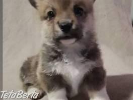 Waleský corgi šteniatka , Zvieratá, Psy    Tetaberta.sk - bazár, inzercia zadarmo