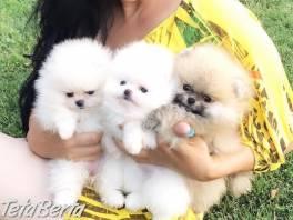 Roztomilé šteniatka Pomeranian Puppies na predaj , Zvieratá, Psy  | Tetaberta.sk - bazár, inzercia zadarmo