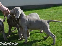 Predám šteniatka weimarského stavača , Zvieratá, Psy  | Tetaberta.sk - bazár, inzercia zadarmo