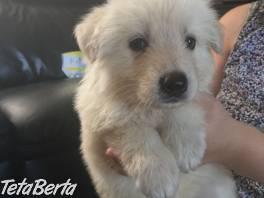 K dispozícii sú očarujúce šteniatka nemeckého ovčiaka , Zvieratá, Psy  | Tetaberta.sk - bazár, inzercia zadarmo