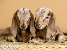 Anglonubijske kozy , Zvieratá, Hospodárske zvieratá  | Tetaberta.sk - bazár, inzercia zadarmo