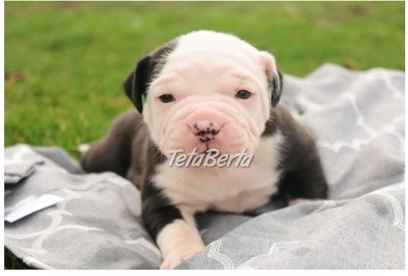 Úžasný šteňatá z modrého krvi alapaha, foto 1 Zvieratá, Psy   Tetaberta.sk - bazár, inzercia zadarmo