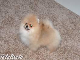 Pomeranian-Boo , Zvieratá, Psy  | Tetaberta.sk - bazár, inzercia zadarmo