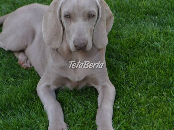 Predám šteniatka weimarského stavača., foto 1 Zvieratá, Psy | Tetaberta.sk - bazár, inzercia zadarmo