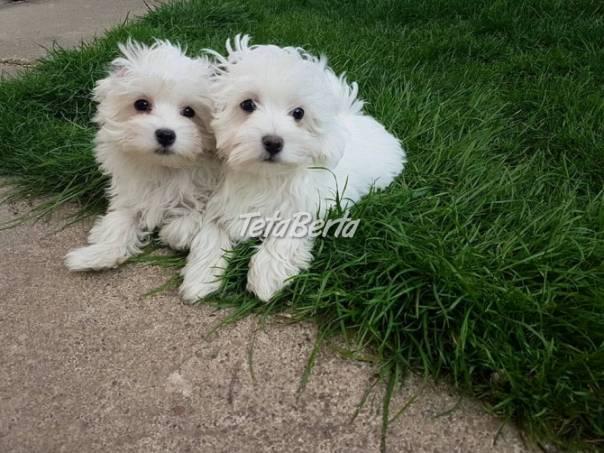 Šteniatka maltského šteniatka pre nový milujúci domov, foto 1 Zvieratá, Psy | Tetaberta.sk - bazár, inzercia zadarmo