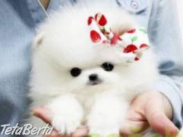 Pomeranian šteniatka s PP , Zvieratá, Psy  | Tetaberta.sk - bazár, inzercia zadarmo
