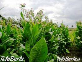 Živý plot z tabaku , Dom a záhrada, Zo záhradky  | Tetaberta.sk - bazár, inzercia zadarmo